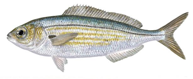Boga - peixe água doce